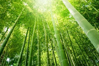 shoots of bamboo
